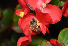 Worker Honey Bee On Red Begoni...