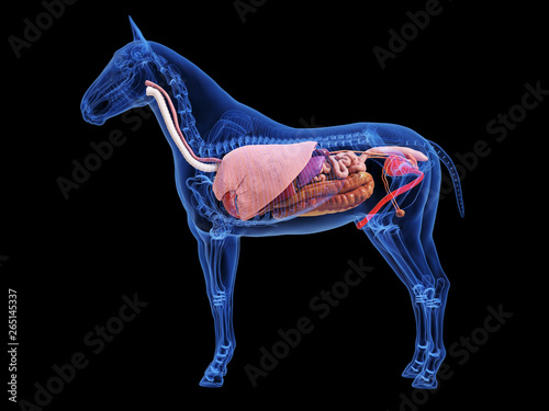 Photographie 3d rendered medically accurate illustration of the horse anatomy