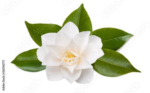 camellia flower Fotobehang