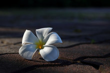 Plumeria Flower Fall Down And Weathered On The Rough Street Floor.