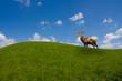 deer under blue sky on a green meadow