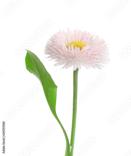 In de dag Madeliefjes Beautiful blooming daisy against white background. Spring flower
