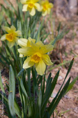 Fototapety, obrazy: Flower bed with yellow daffodil flowers blooming in the spring. Daffodil or Narcissus. Small plants with yellow trumpet flowers