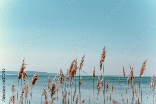 Obraz na płótnie dry tall grass against a blue sky