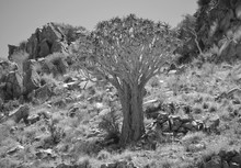 Aloidendron Dichotomum, Formerly Aloe Dichotoma, The Quiver Tree Or Kokerboom, Is A Tall, Branching Species Of Succulent Plant, Indigenous To Southern Africa And Namibia