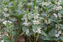 Flowering Lamium Album, White Nettle, White Dead-nettle