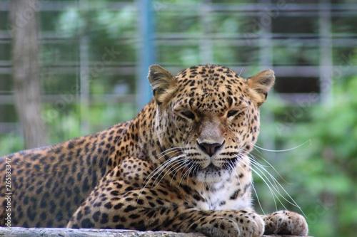 Poster Leopard Panthère dans son enclos au zoo