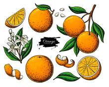 Orange Fruit Vector Drawing. S...