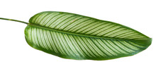 Green Leaf Stripe Of Calathea Ornata Albolineata With An Isolated Background