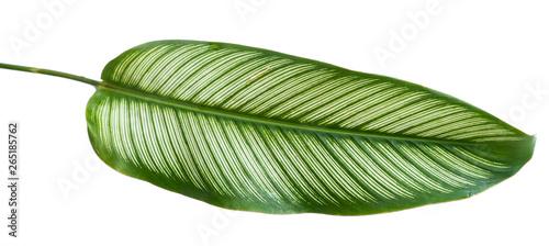 Obraz Green leaf stripe of Calathea Ornata Albolineata with an isolated background - fototapety do salonu