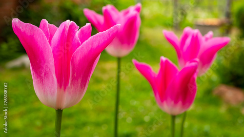 Poster Rose Pink Tulips