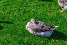 A Brown Goose Lies In The Mead...