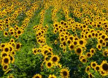 543-15 Sunflower Field