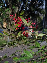 Red Small Berries And Green Leaves On The Holy Bamboo (nandina Dome Stica, Berberidaceae)