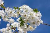 Fototapeta Kwiaty - Białe kwiaty wiśni na tle błękitnego nieba