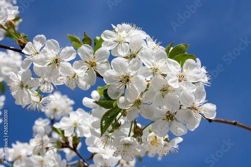 Białe kwiaty wiśni na tle błękitnego nieba