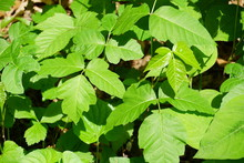 Closeup Of Wild Poison Ivy Plant (devil's Mittens) In A Forest