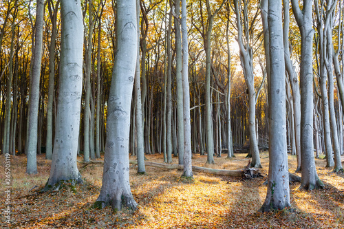 Sunset at Broadleaf Forest / Tall strong tree trunks at autumn forest against su Slika na platnu