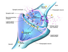 Cross Section Of A Synapse Or Neuronal Connection With A Nerve Cell - 3d Illustration