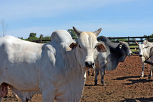 Cattle Of The Nelore Breed In The Corral