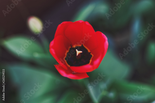 Poster Tulip Open bud of a Red tulp flower closeup, Selective focus. Gardening concept