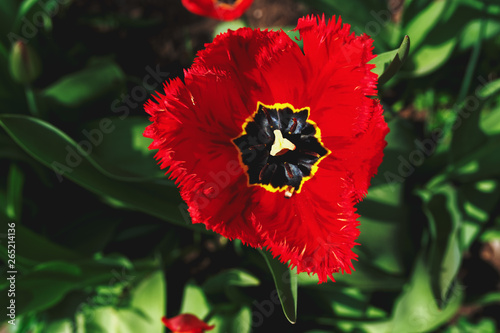 Printed kitchen splashbacks Tulip Open bud of a Red tulp flower closeup, Selective focus. Gardening spring concept