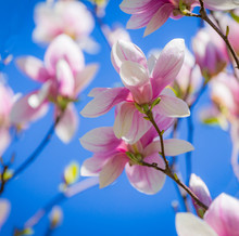 Magnolia Soulangeana Or Saucer Magnolia White Pink Blossom Tree Flower Close Up Selective Focus On The Blue Sky Background