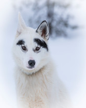 White Siberian Husky Dog With Unusual Black Markings