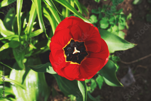 Photo Stands Tulip Open bud of a Red tulp flower closeup, Selective focus. Gardening concept