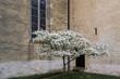 canvas print picture - Felsenbirne (Amelanchier), Bluete vor Kirchengebaeude