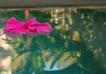 Pink Hibiscus Flower Floating ...