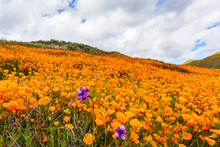 Millions Of California Poppies At Walker Canyon In Lake Elsinore