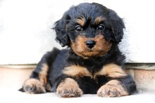 Cavapoo Puppy With White Background
