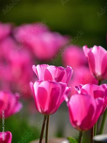 Poster Rose 木漏れ日浴びて輝くピンクのチューリップ