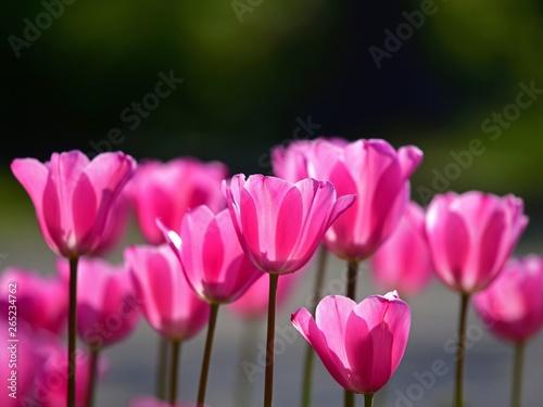 木漏れ日浴びて輝くピンクのチューリップ