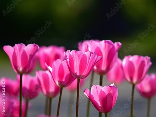 Door stickers Pink 木漏れ日浴びて輝くピンクのチューリップ