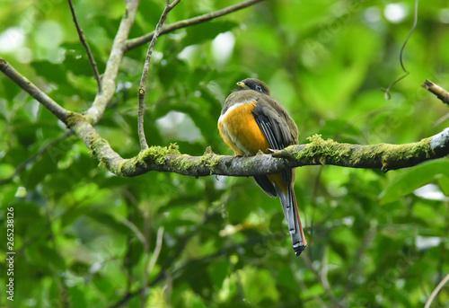 Photo  緑の中のオレンジキヌバネドリ