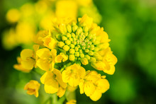 Close Up Of Rape Flower In The Filed