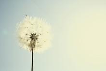Simplest Dandelion