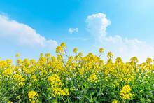 Beautiful Yellow Rape Flowers On A Background Of Blue Sky