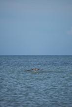 Sea Osprey