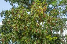 Caju-japonês Ou Hovenia Dulcis é O Nome Científico Desta Planta
