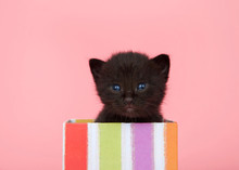 Adorable Black Baby Kitten With Blue Eyes Peaking Out Of A Colorful Striped Present Box On Pink Background Looking Directly At Viewer. Pink Background With Copy Space