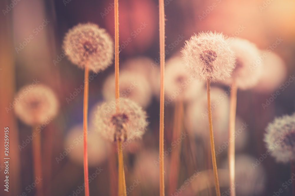 Fototapety, obrazy: Dandelion field in vintage color effect - retro style
