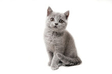 Kitten British Blue On White B...