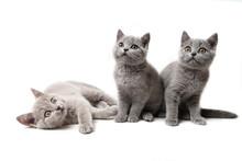 Three Kittens British On White...