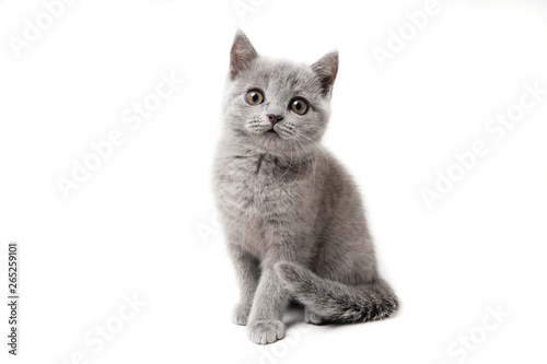 Kitten British blue on white background. Cat sitting Poster Mural XXL