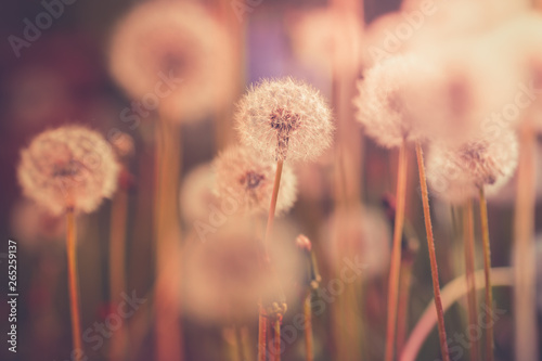 Obraz Dandelion field in vintage color effect - retro style - fototapety do salonu