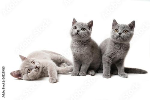 Obraz Three kittens British on white background - fototapety do salonu