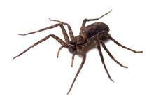 Giant Spider Isolated On A White Background